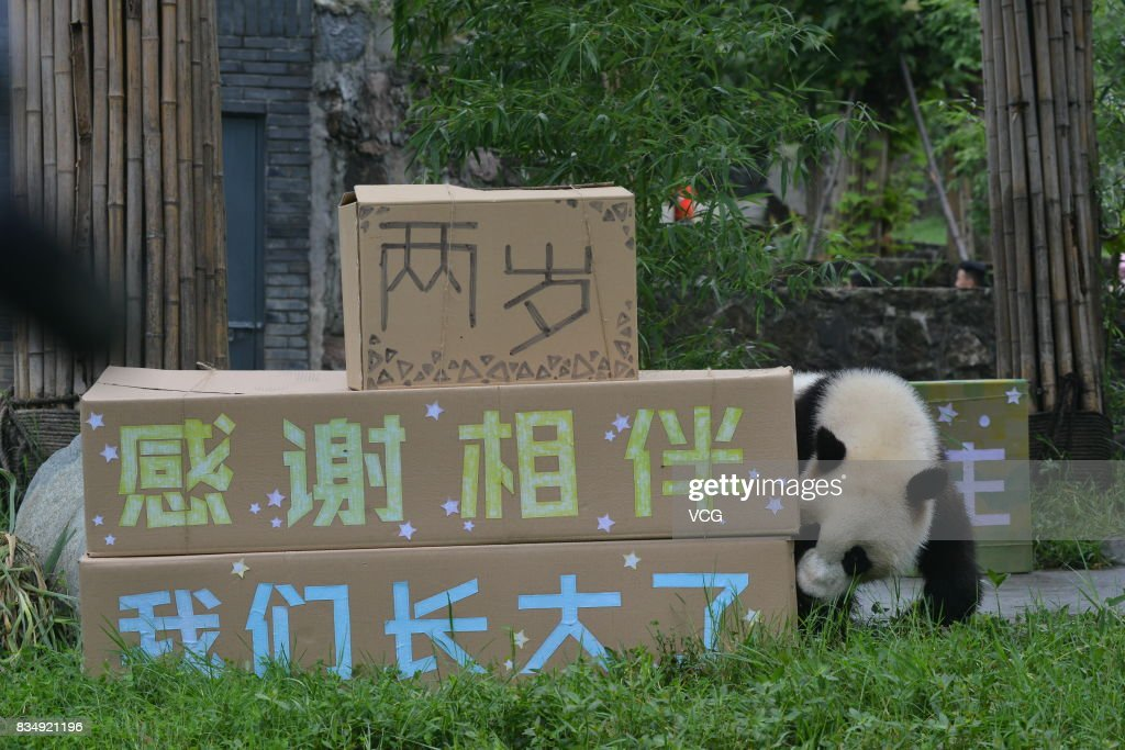 Male panda Bing Bing plays during his two-year-old birthday celebration at the Dujiangyan base of the China Conservation and Research Center for Giant Pandas on August 18, 2017 in Chengdu, China.