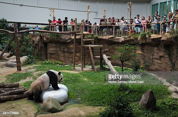 Male Panda Xing Xing is seen playing inside a cage at the National Zoo on November 17 2015 in Kuala Lumpur MalaysiaThe parents of the newborn cub...