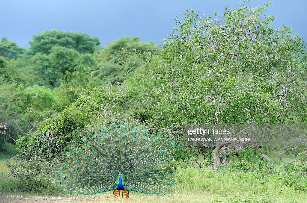 A male peacock displays its feathers at Sri Lanka's Yala National Park, in the southern district of Yala, some 250 kms southwest of Colombo, on January 15, 2014.Yala National Park is the most visited and second largest national park in Sri Lanka. AFP PHOTO/LAKRUWAN WANNIARACHCHI