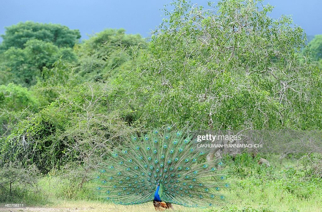 A male peacock displays its feathers at Sri Lanka's Yala National Park in the southern district of Yala some 250 kms southwest of Colombo on January...