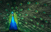 Peafowl in saturated colors.