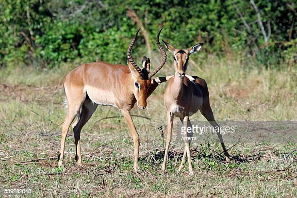 Male placing leg on back of female impala ready for mating Mlilwane National Park Swaziland South Africa
