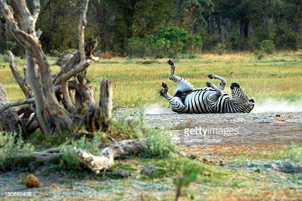 Male Plains Zebra Equus burchelli taking a dust bath, Moremi National Park Botswana