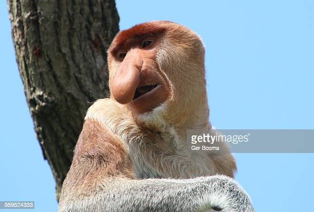 Male Proboscis Monkey Portrait