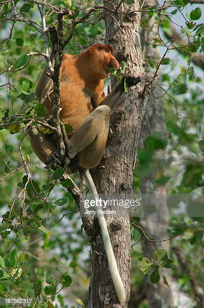 A male proboscis monkey sits in and eats the leaves of a mangrove tree in Bako National Park Approximately 275 monkeys live in the park one of the...