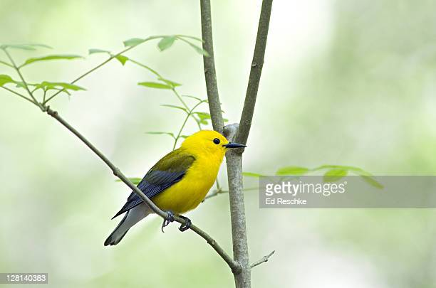 Male Prothonotary Warbler, Protonotaria citrea, Beidler Audubon Swamp, South Carolina, USA. The only eastern warbler that nests in tree cavities.
