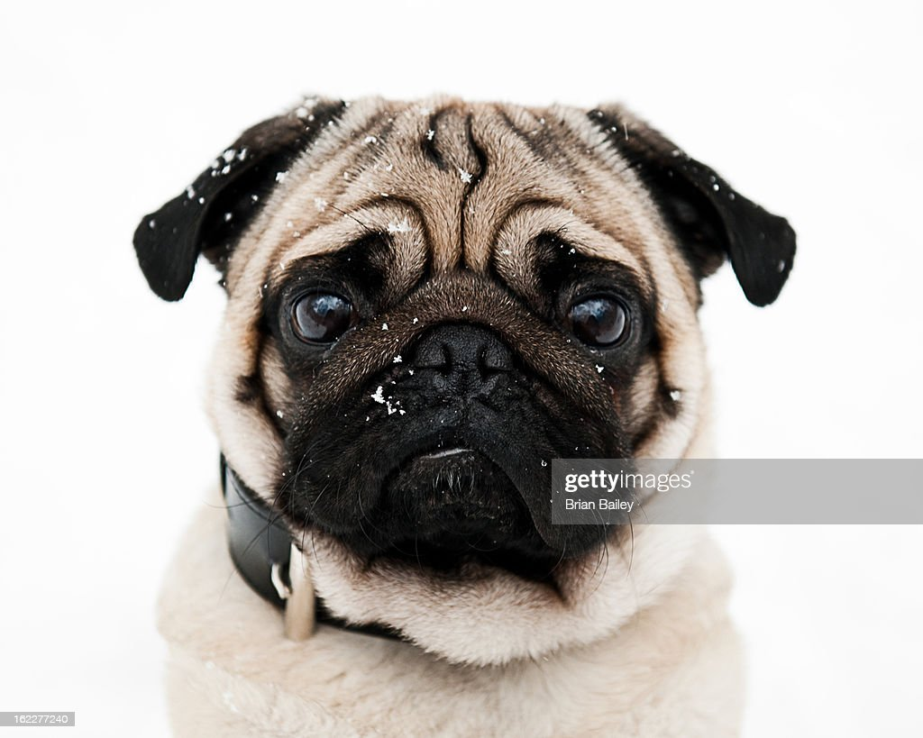 Male pug dog surrounded by snowflakes, portrait