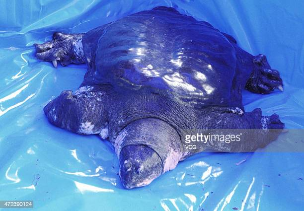 A male Rafetus swinhoei is seen after being collected sperm at Suzhou Zoo on May 6 2015 in Suzhou Jiangsu province of China Organized by Wildlife...