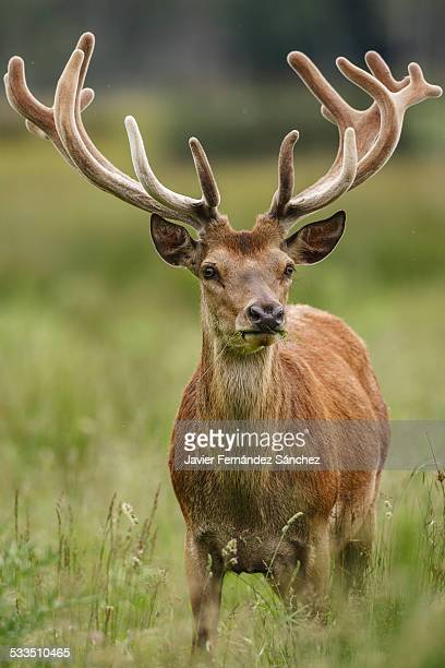 Male red deer - Cervus elaphus -  Portrait