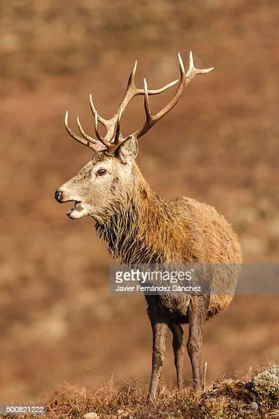 Male red deer in the Cairngorms National Park, Scotland. Cervus elaphus.