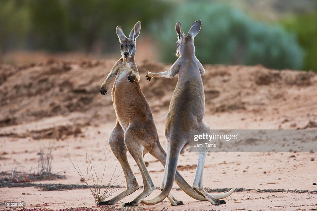 Male red kangaroos fighting for a female : Stock Photo