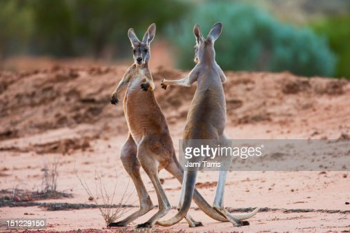 Male red kangaroos fighting for a female : ストックフォト