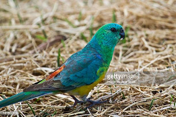 Male red rumped parrot