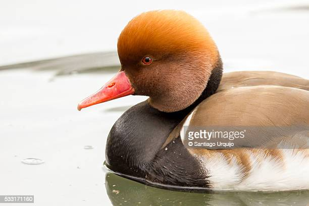 Male red-crested pochard (Netta rufina)