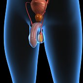 The human male reproductive system consists of a number of sex organs that form a part of the human reproductive process. In this type of reproductive system, these sex organs are located outside the