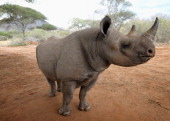 A male rhino called Jabu at Mkomazi rhino Sanctuary on June 19 2012 in Mkomazi Tanzania The Aspinall Foundation along with the Tusk Trust and the...