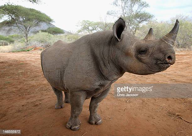 A male rhino called Jabu at Mkomazi rhino Sanctuary on June 19 2012 in Mkomazi Tanzania The Aspinall Foundation along with the Tusk Trust and the...