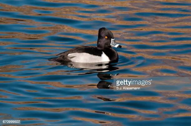 Male Ring-necked duck swimming on pond with ripple pattern.