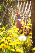Male Ring-Necked Pheasant walks across meadow with yellow dandelions and wildflowers. Old wooden fence in the background. Bird taken in early Spring vegetation at Serbian countryside in old abandoned