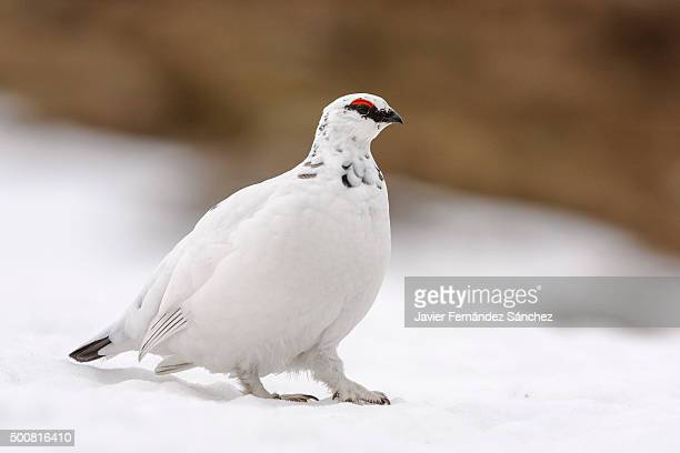 A male rock ptarmigan (Lagopus mutus) in Scotland.
