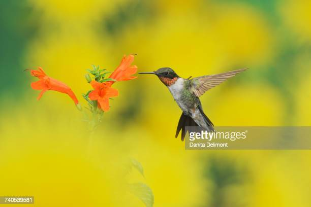 Male Ruby-throated Hummingbird (Archilochus colubris) feeding on Cape honeysuckle (Tecoma capensis) flower, Hill Country, Texas, USA