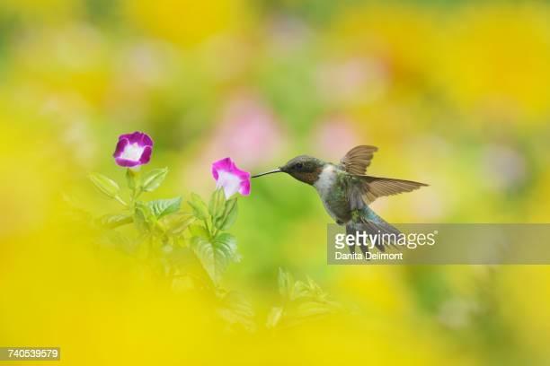 Male Ruby-throated Hummingbird (Archilochus colubris) feeding on Wishbone flower (Torenia fournieri), Hill Country, Texas, USA