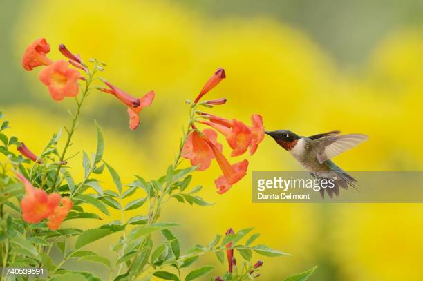 Male Ruby-throated Hummingbird (Archilochus colubris) feeding on Yellow bells (Tecoma stans) flower, Hill Country, Texas, USA