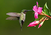 Male Ruby-throated Hummingbird in Hover Mode