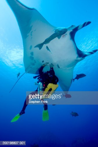 Male scuba diver touching underside of Pacific manta ray : Foto stock