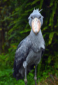 A male shoebill 'Sasa' is seen at the Noichi Zoological Park on April 20 2015 in Konan Kochi Japan The zoo takes female shoebill to challenge an...