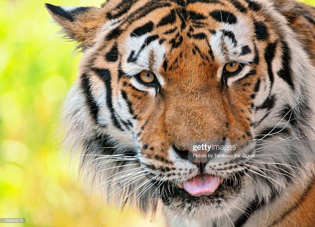 Male Siberian tiger : Stock Photo
