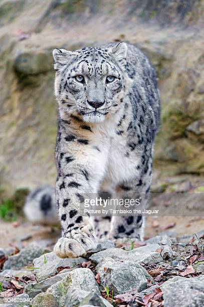 Male snow leopard coming to me