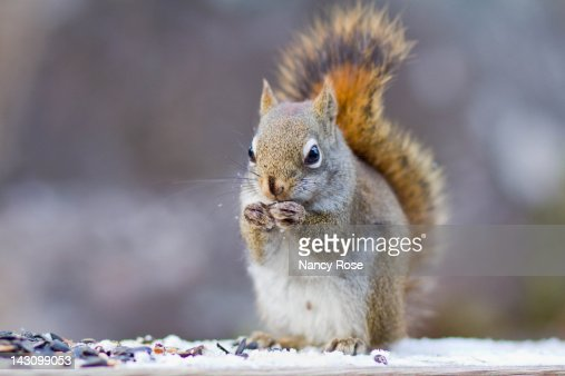 Male squirrel : Foto de stock