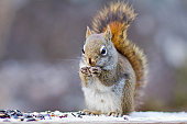 Male squirrel