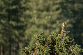 Male Stonechat (Saxicola torquata) sitting high up on a gorse bush in the New Forest, England UK on a summer's day.