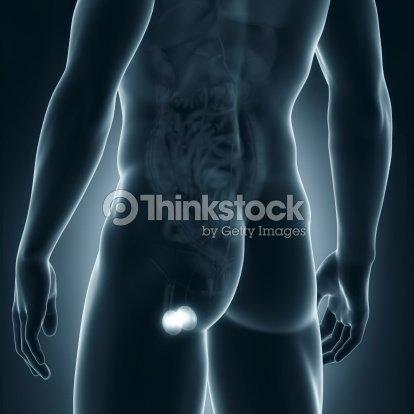 Hombre Anatomía Vista Posterior De Los Testículos Foto de stock ...