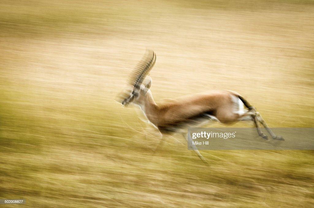 Male Thomson's gazelle running
