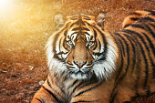 Portrait of a male tiger at sunset with intense eyes looking straight into the camera