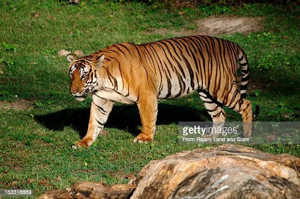 Male Tiger Bandipur