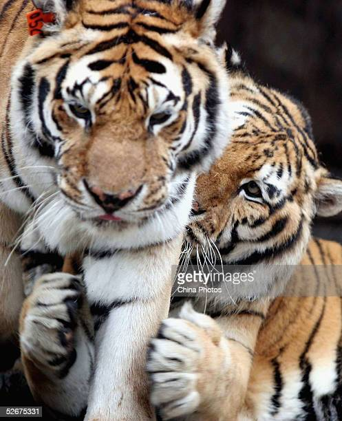 A male tiger hugs a female tiger at a zoo on April 21 2005 in Nanning of Guangxi Zhuang Autonomous Region China Dozens of zoos in China have pledged...