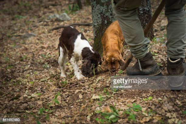 Male truffle hunter in 20's assists his two dogs that are sniffing and digging out truffles in the woods with a wooden hoe called vanghella, Abruzzo, Italy, Europe