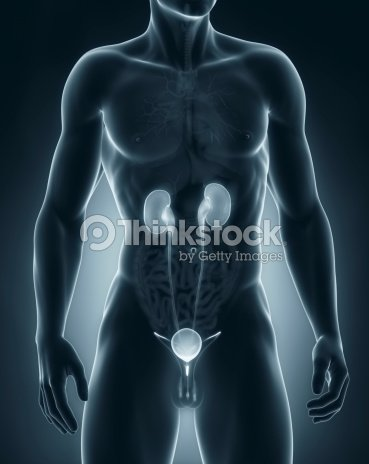 Male Urinary System Anatomy Anterior View Stock Photo