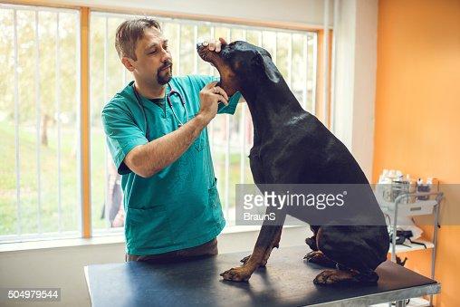 Male vet examining dental hygiene of a purebred dog.