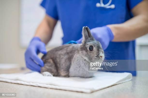 Ein männliche Tierarzt führt eine Routineuntersuchung auf ein Kaninchen