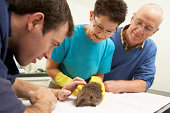 Male Veterinary Surgeon Examining Rescued Hedgehog In Surgery