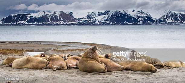 Male Walrus Colony