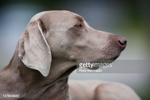 Male weimaraner dog : Foto stock