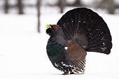 The Capercaillie, also known as Wood Grouse has a very short breeding time by the end of April when there is still quite some snow on the ground and the temperature is rather cold