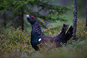 Male Western Capercaillie in summer