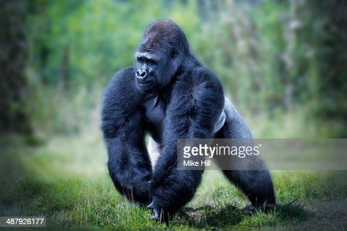 Male Western Lowland Gorilla walking